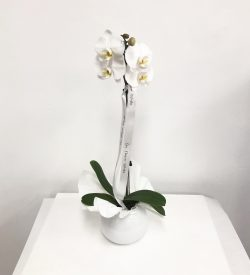 Orchid Plant. Indoor Plant. Plant Gift.