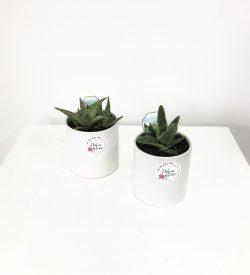 Potted Succulent. Succulent Plant. Succulent Gift